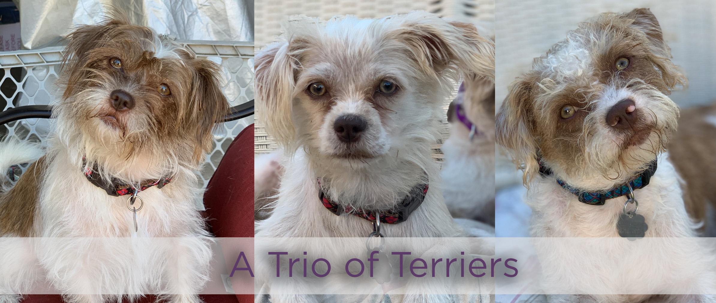 trio of terriers